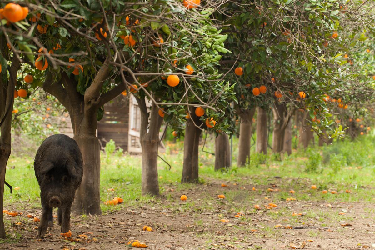 Sycylia, sady pomarańczowe, gdzie jechać do Włoch
