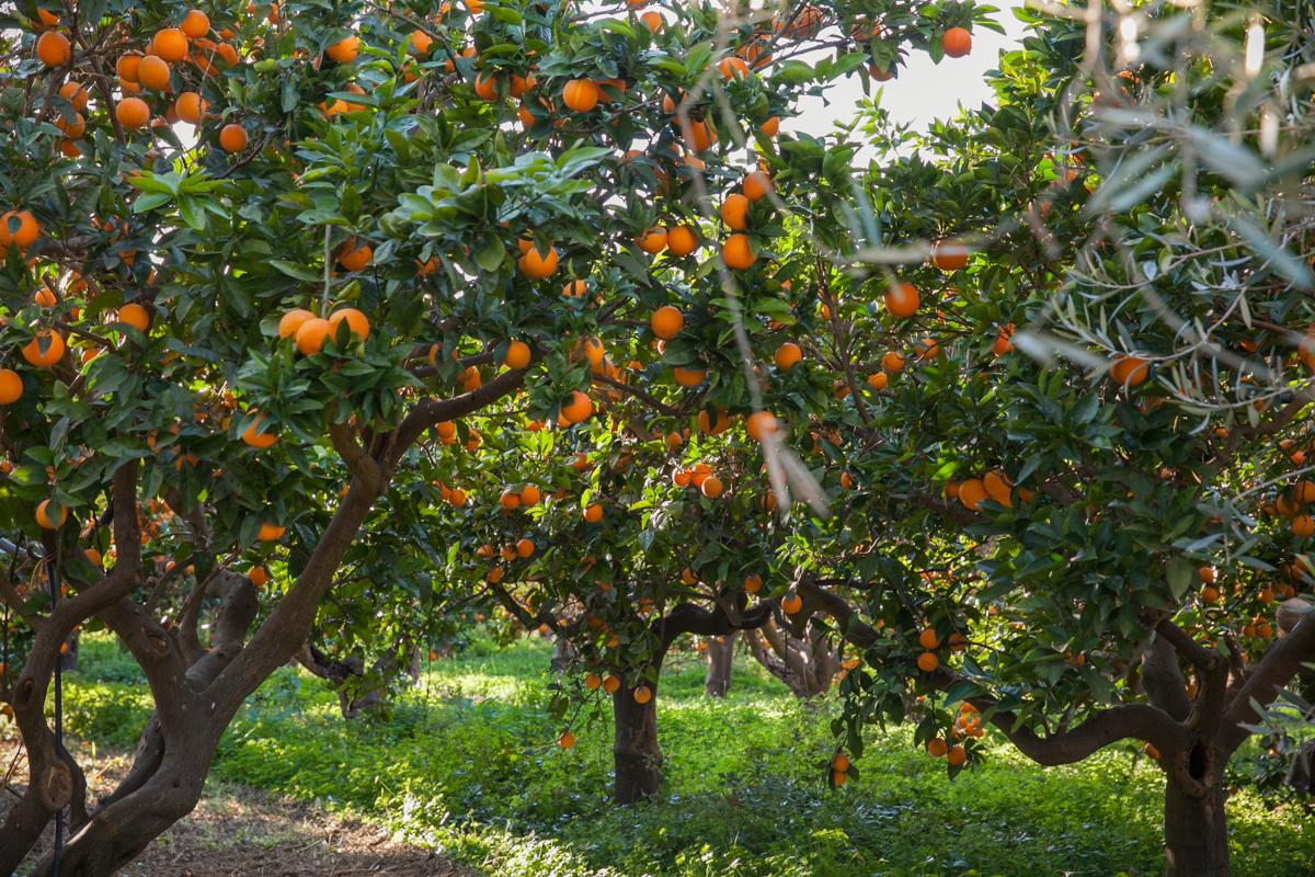 sycylijskie pomarańcze, prawdziwe Włochy, pomarańcze z Włoch