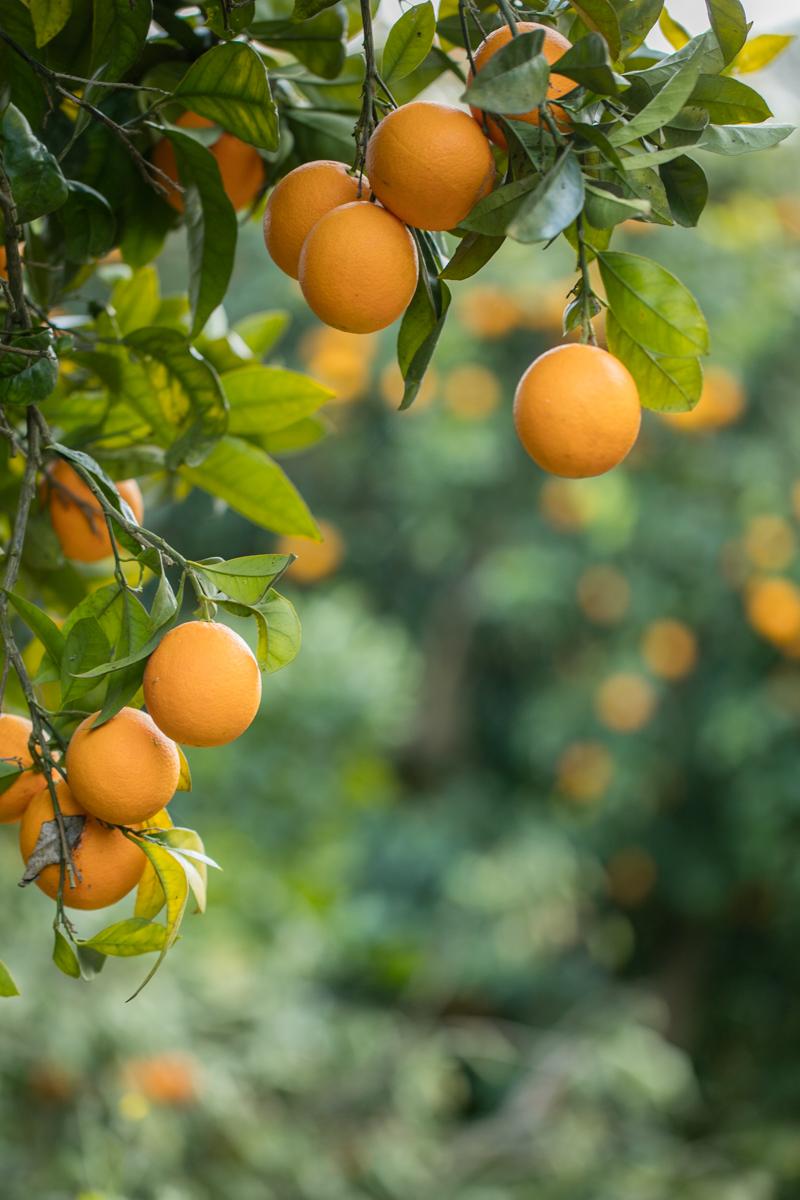 sycylijskie pomarańcze, pomarańcze z Włoch, pomarańcze z Sycylii